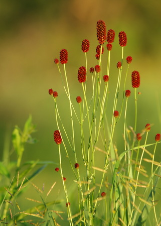 rosales: Sanguisorba officinalis. great burnet. Chinese Herbal Materia Medica by Dan Bensky Di Yu. the root is used to stop bloody dysentery, nosebleeds, and is applied topically to treat burns and insect bites