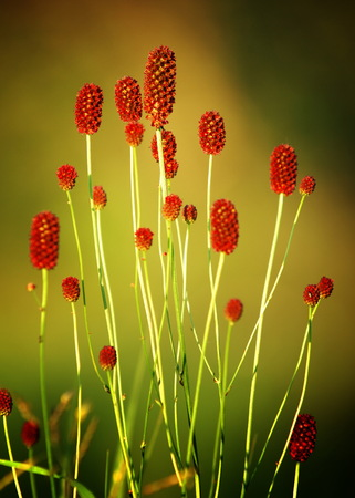 Sanguisorba officinalis. great burnet. Chinese Herbal Materia Medica by Dan Bensky Di Yu. the root is used to stop bloody dysentery, nosebleeds, and is applied topically to treat burns and insect bites Stock fotó - 74653530