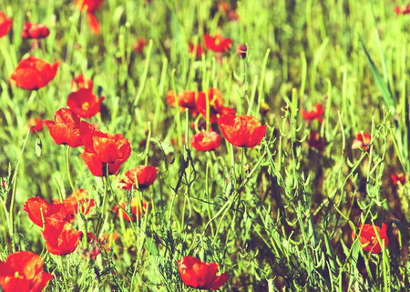 Poppy flowers. a herbaceous plant with showy flowers, milky sap, and rounded seed capsules. Many poppies contain alkaloids and are a source of drugs such as morphine and codeine.