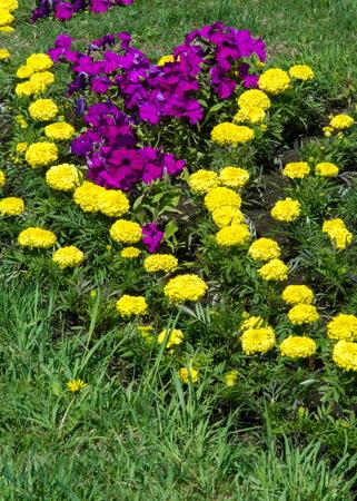 Texture background. Flower beds city, Marigolds, Petunias Stock Photo