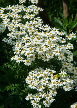 muscle relaxant: Chamomile or camomile flowers. Herbaceous plants with buds, have to-ryh petals are usually white, and the middle yellow. The drug infusion or powder from the flowers of this plant.