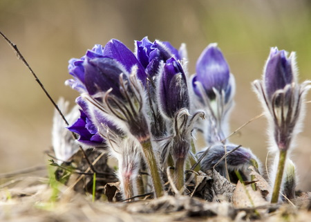 Pulsatilla. flower of pasqueflower. Black Pulsatilla - spring flower. Spring flowers - Pulsatilla&qu ot. pasque flower Stock Photo