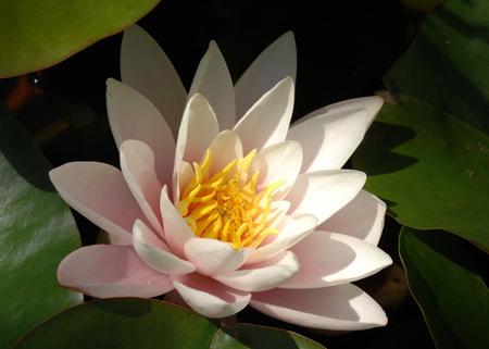 lotus, lotos. een van een aantal grote waterlelies,