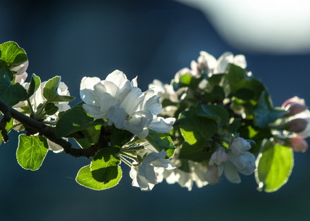A blooming branch of apple tree in spring. photo of blossoming tree brunch with white flowers on bokeh green background. blossoming tree of an apple-tree. spring season Stock Photo