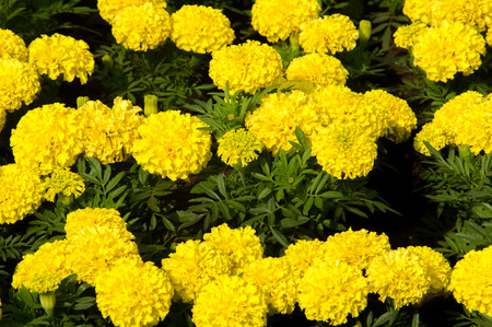 Marigolds Flowers. a plant of the daisy family, typically with yellow, orange, or copper-brown flowers, that is widely cultivated as an ornamental.