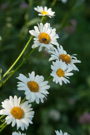 chamomile flowers. Meadow chamomile