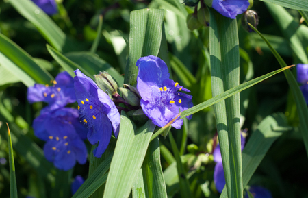 TRADESCANTIA VIRGINIANA. The genus is named after John Tradescant 1608-1662 who served as gardener to Charles 1 of England.
