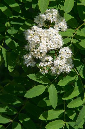 Rowan flowers. a mountain ash, in particular the European Sorbus aucuparia. Stock Photo