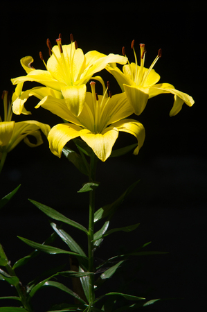 Lily yellow. a heraldic fleur-de-lis. Lilies are tall perennials ranging in height from 2-6 ft