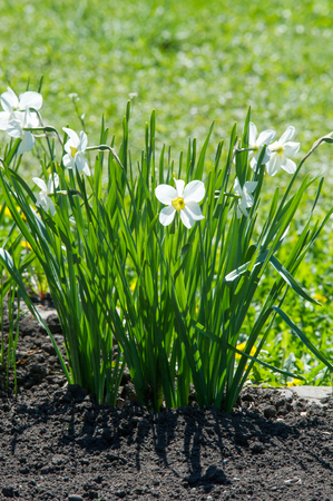 Flowers narcissus. a bulbous Eurasian plant of a genus that includes the daffodil, especially (in gardening) one with flowers that have white or pale outer petals and a shallow orange or yellow cup in the center.