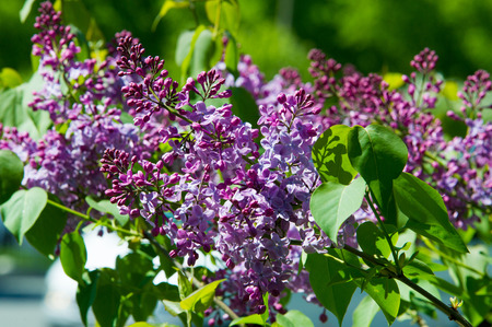 Texture, pattern, background. Lilac flowers. of a pale pinkish-violet color. Large garden shrub with purple or white fragrant flowers.