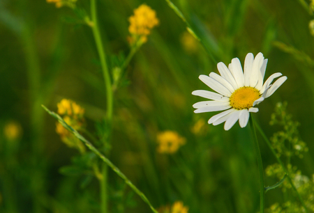 buey: Chamomile or camomile flowers. Herbaceous plants with buds, have to-ryh petals are usually white, and the middle yellow. The drug infusion or powder from the flowers of this plant.