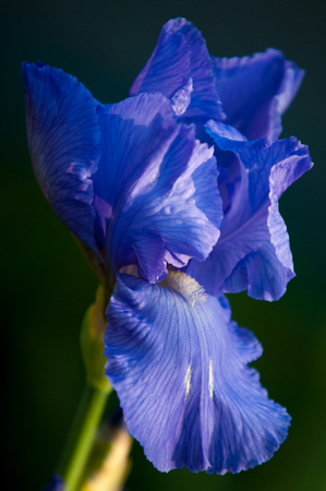 Iris flowers. It takes its name from the Greek word for rainbow, which is also the name for the Greek goddess of the rainbow, the Iris Stock Photo
