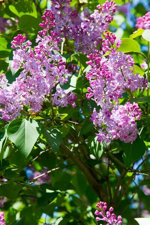 Texture, Modèle, Fond. Fleurs De Lilas. D\'une Couleur Rose-violet ...