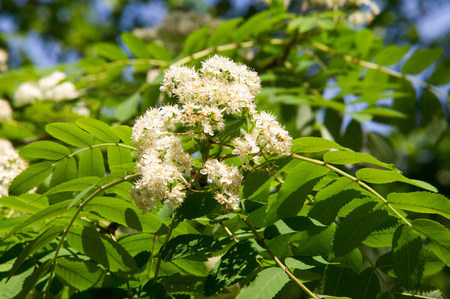Rowan flowers. a mountain ash, in particular the European Sorbus aucuparia. Stock Photo