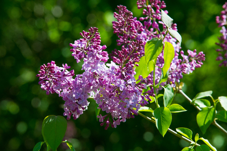 morphology: Texture, pattern, background. Lilac flowers. of a pale pinkish-violet color. Large garden shrub with purple or white fragrant flowers.
