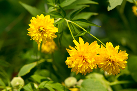 herbaceous: Heliopsis is a genus of herbaceous flowering plants in the sunflower family Stock Photo