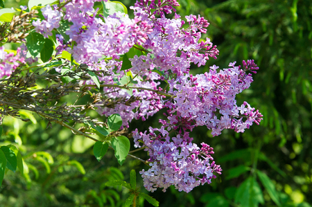 pale color: Texture, pattern, background. Lilac flowers. of a pale pinkish-violet color. Large garden shrub with purple or white fragrant flowers.