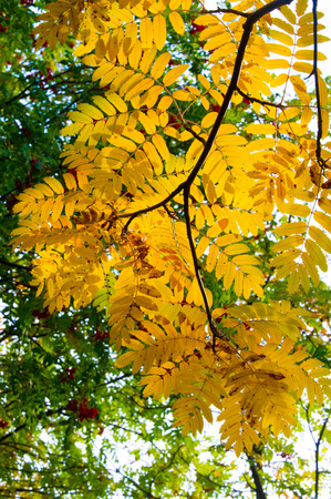 texture, background. Autumn leaves of a mountain ash. Bright yellow autumn leaves photography backlit. amazing time to the Indian summer. Rowan Stock Photo