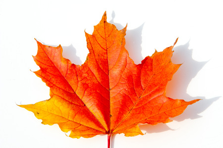 Autumn Leaves Studio. Autumn leaf isolated on white background. Close-up view.