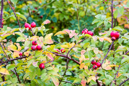 The rose hip, also known as rose haw or rose hep, is the fruit of the rose plant, that typically is red-to-orange, but ranges from dark purple to black in some species