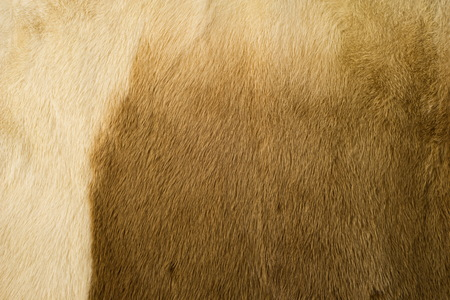 Texture, background. mink fur. Mink coat. Gold color mink fur. a small, semiaquatic, stoatlike carnivore native to North America and Eurasia. The American mink is widely farmed for its fur.