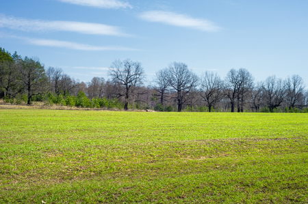 Spring landscape, the young shoots of wheat, oak trees in the expectation of green foliage, blue sky with few clouds