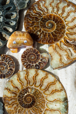 Fossil remains of marine life. the remains or impression of a prehistoric organism preserved in petrified form or as a mold or cast in rock. Stock Photo
