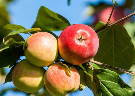 Crabapple and Wild apple. Malus  is a genus of about 30–55 species of small deciduous apple trees or shrubs in the family Rosaceae