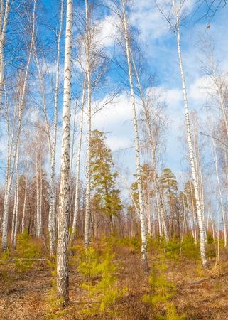 tatarstan: Early spring in birch forest.