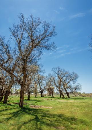 Spring Grove in turanga. diversifolia Schrenk, Populus euphratica,  Euphrates Poplar,  poplar.