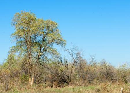 steppe, prairie, veldt, veld.  Spring Central Asia. Kazakhstan. turanga poplar.  Euphrates Poplar Stock Photo