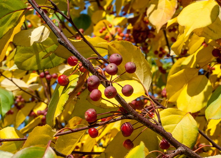 ladys: Crabapple and Wild apple. Malus  is a genus of about 30–55 species of small deciduous apple trees or shrubs in the family Rosaceae