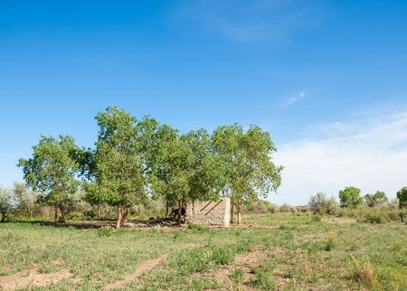 subtropical: steppe, prairie, veldt, veld.  Spring Central Asia. Kazakhstan. turanga poplar.  Euphrates Poplar, abandoned mud huts