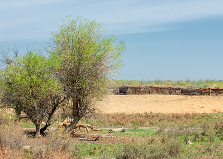 steppe, prairie, veldt, veld.  Spring Central Asia. Kazakhstan. turanga poplar.  Euphrates Poplar Reklamní fotografie