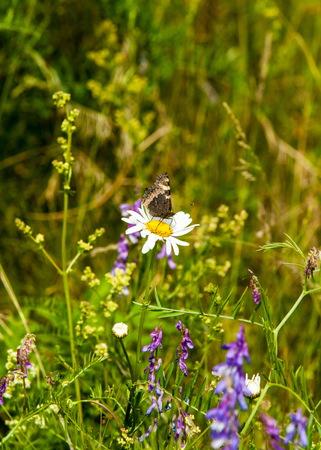 Field pea flowers Mouse. sweet peas flowers. Sweet pea