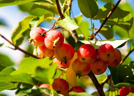 corona navidad: Crabapple and Wild apple. Malus  is a genus of about 30–55 species of small deciduous apple trees or shrubs in the family Rosaceae