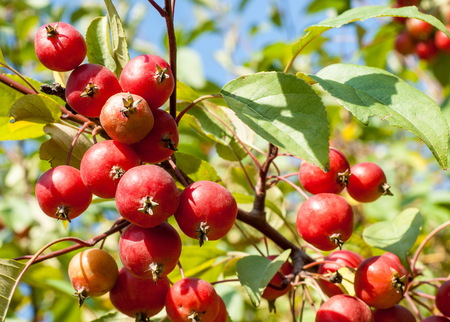 pome: Crabapple and Wild apple. Malus  is a genus of about 30–55 species of small deciduous apple trees or shrubs in the family Rosaceae