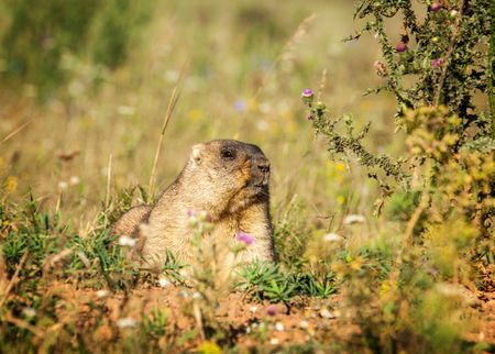 crescent: Marmot. Yellow-bellied marmots in Tatarstan