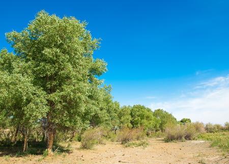 steppe, prairie, veldt, veld.  Spring Central Asia. Kazakhstan. turanga poplar.  Euphrates Poplar Stok Fotoğraf