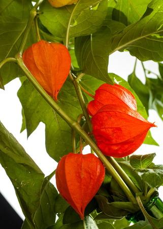 nightshade: Physalis. For the European shrub also called ground cherry, Prunus fruticosa.