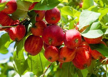 Crabapple and Wild apple. Malus  is a genus of about 30�55 species of small deciduous apple trees or shrubs in the family Rosaceae
