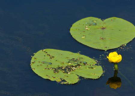 nymphaeaceae: lotus