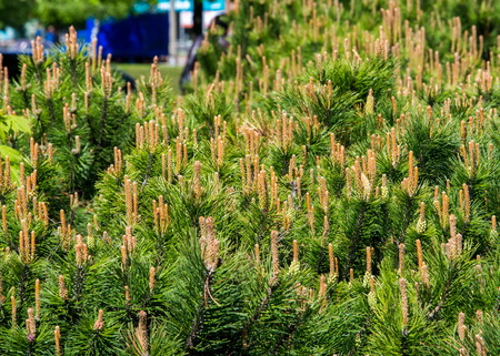 showy: Texture, pattern, background. Pine bush formed on the flowerbed