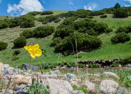 Yellow poppies. mountain, mount, hill. Kazakhstan. Tien Shan. Assy plateau