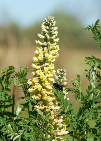 licorice, Liquorice, Glycyrrhiza glabra,  star anise,  fennel,