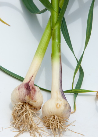 garlic.Garlic is not ripened on the stem of the leaf. a strong-smelling pungent-tasting bulb, used as a flavoring in cooking and in herbal medicine. Banco de Imagens