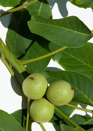 potherb: Walnut milk ripeness. not ripe, green.  walnut, nutwood, walnut-tree. the large wrinkled edible seed of a deciduous tree, consisting of two halves contained within a hard shell that is enclosed in a green fruit.