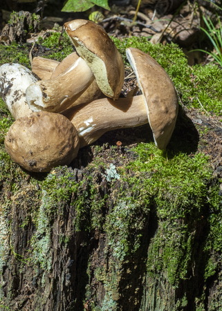 diameter: Boletus edulis. California king bolete.  The fruit body has a large brown cap which on occasion can reach 35 cm (14 in) in diameter and 3 kg (6.6 lb) Stock Photo