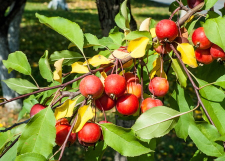 horticultural: Crabapple and Wild apple. Malus  is a genus of about 30–55 species of small deciduous apple trees or shrubs in the family Rosaceae